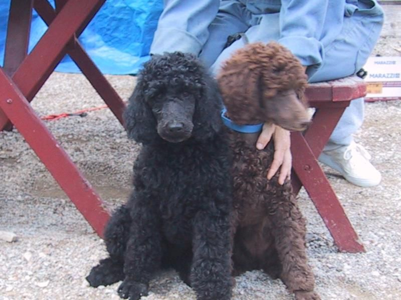 Black Standard Poodle Puppies | Montana Brown Standard