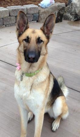 Adopt Beyonce On German Shepherd Dogs Dogs Shepherd Dog