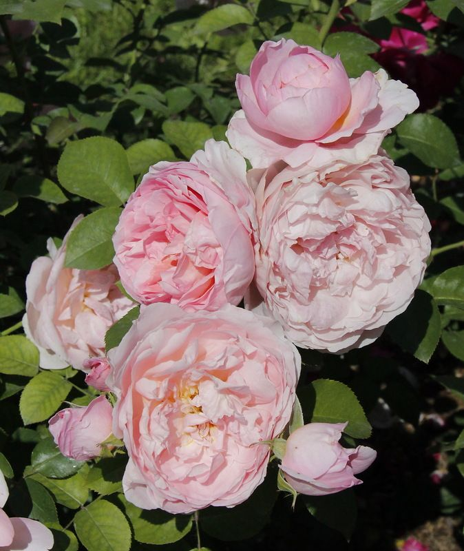 'Dames de Chenonceau' | Floribunda Rose. Delbard 2002