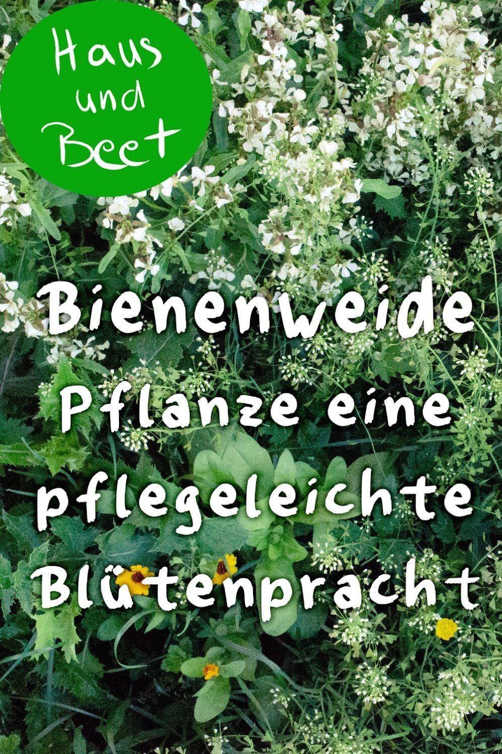 Bienenweide Pflanze Eine Pflegeleichte Blutenpracht Ob Auf Dem Balkon Oder Im Bienenweide Pflanzen Bienenfreundliche Pflanzen Bienenfreundlicher Garten