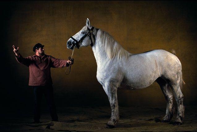 Boulonnais Horse Pictures Horses Draft Horses