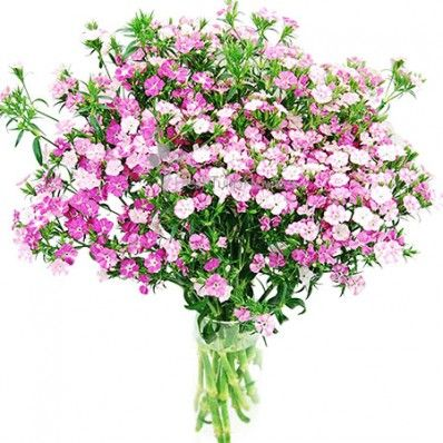 Dianthus Flowers - Light Pink
