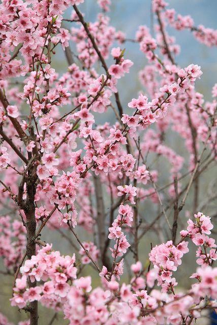 Beautiful Sakura Look A Like Peach Flowers Spring Is In The Air Bhurban Village Bhurban Khyber Pakhtunkhwa Province Pakistan 31 03 2012 Flower Images Flowers Nature Sakura