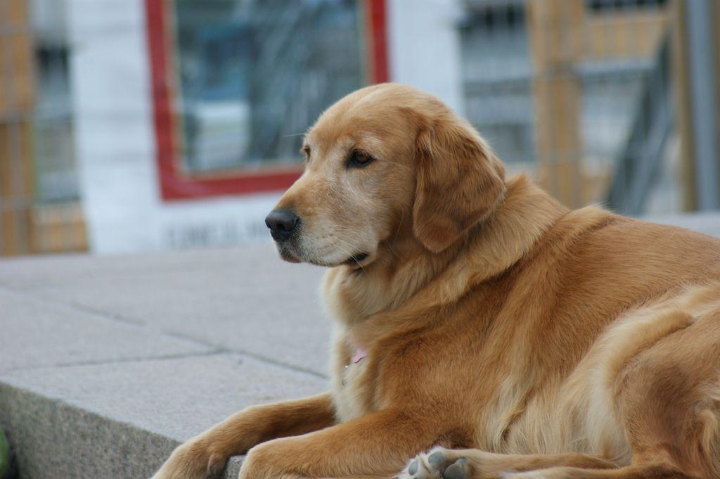 Kenali 10 Ras Anjing Terpintar
