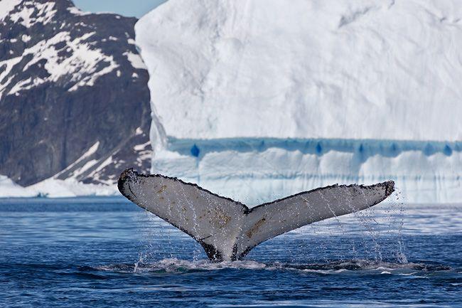 Humpback-Whale-Fluke-with-iceberg-in-bkgd_E7T1910-Petermann-Island,-Antarctica