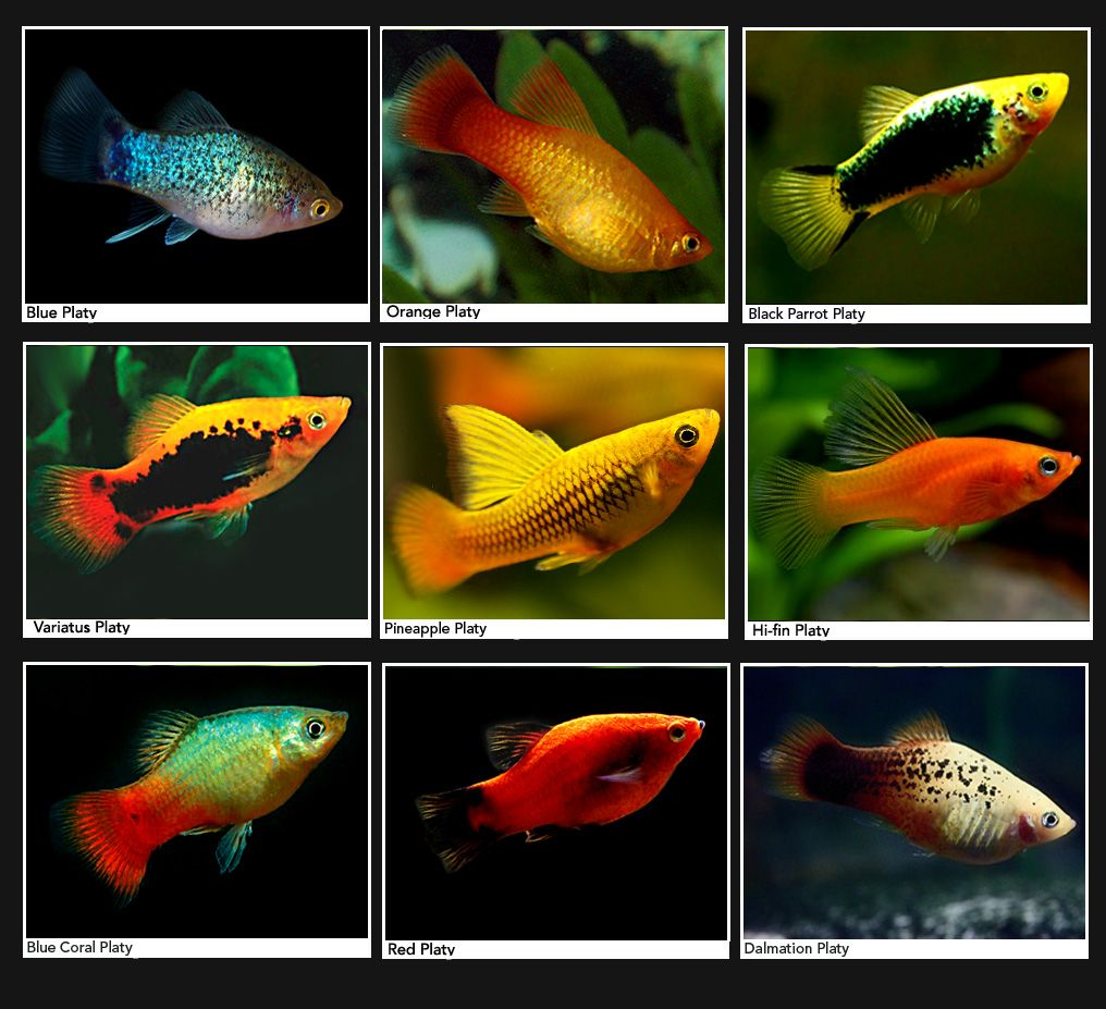 Platies the platy fish is a cute goldish companion for a for Cute freshwater fish