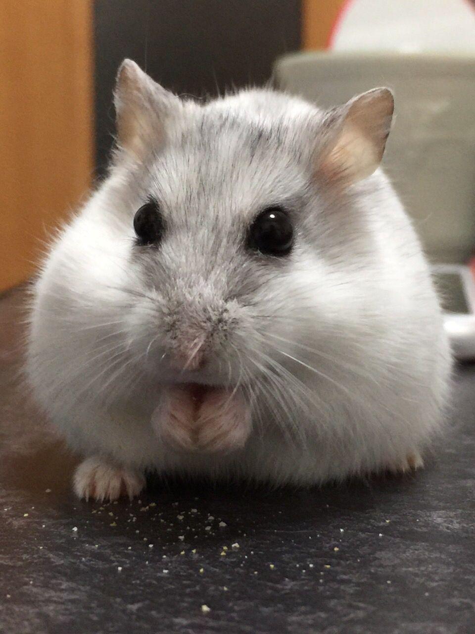 white hamster HamsterGuide cutehamsters Baby hamster