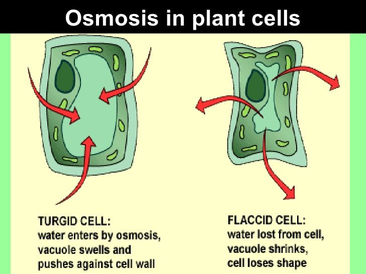 Osmosis in plant cells Hypertonic solution Hypotonic solution