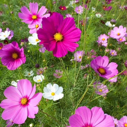 Wild Cosmos Flower Seeds Sensation Mix Cosmos Bipinnatus Flower Seeds Wild Flower Meadow Cosmos Flowers