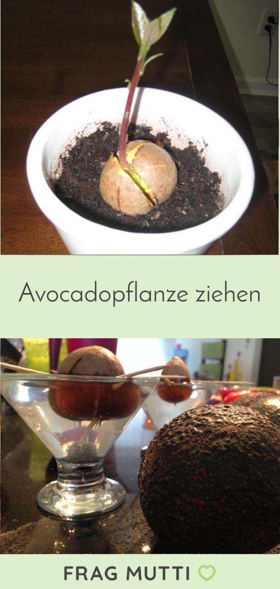 Avocadopflanze ziehen