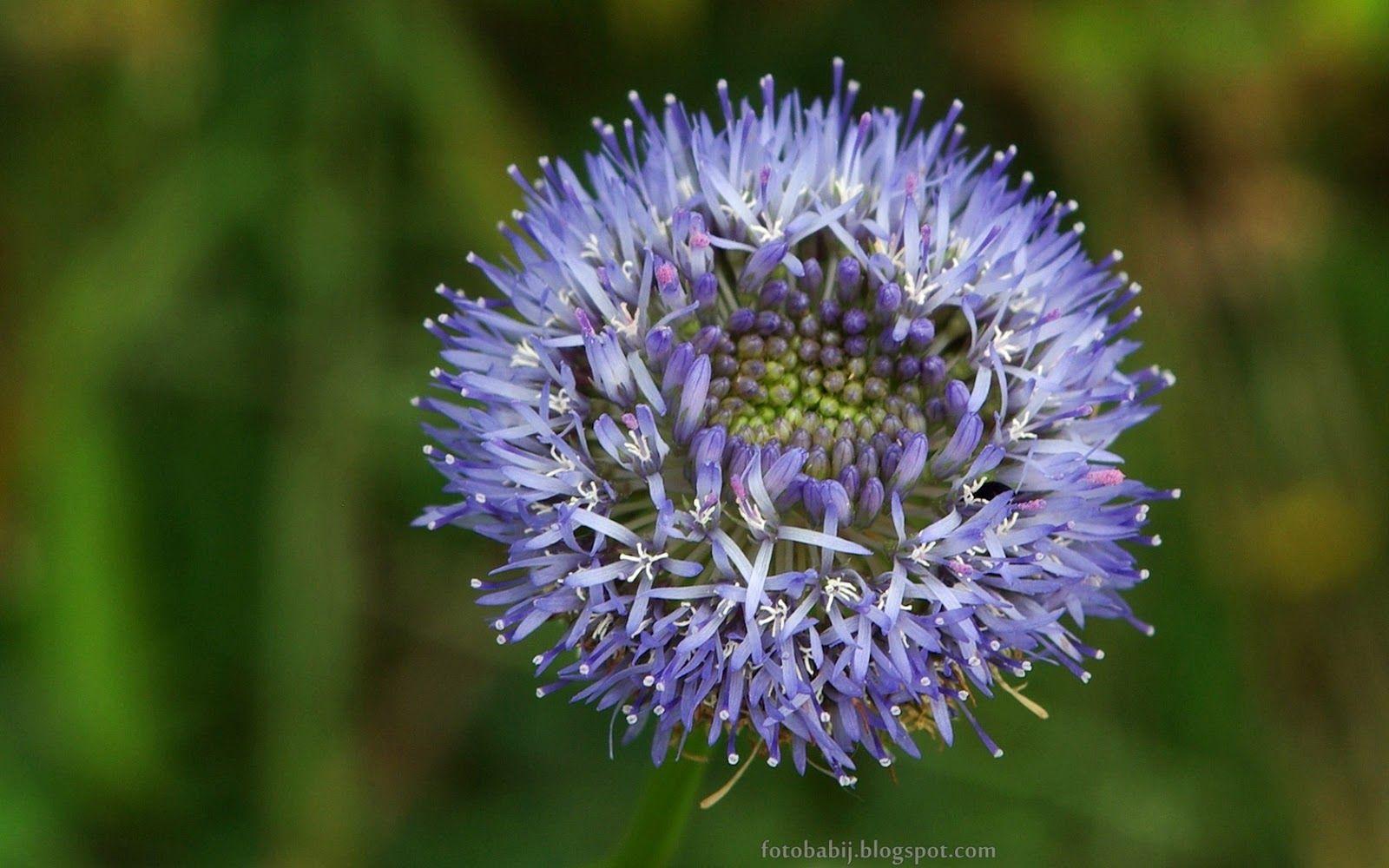 Tapety Na Pulpit 4k Ultra Hd Full Hd I Inne Rozdzielczosci Jasieniec Piaskowy Kwiat Jasione Montana Flower