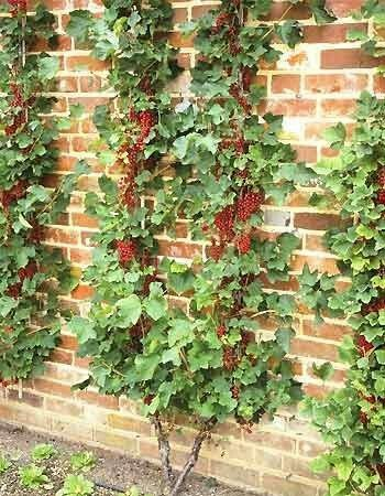 Espalier trained currants