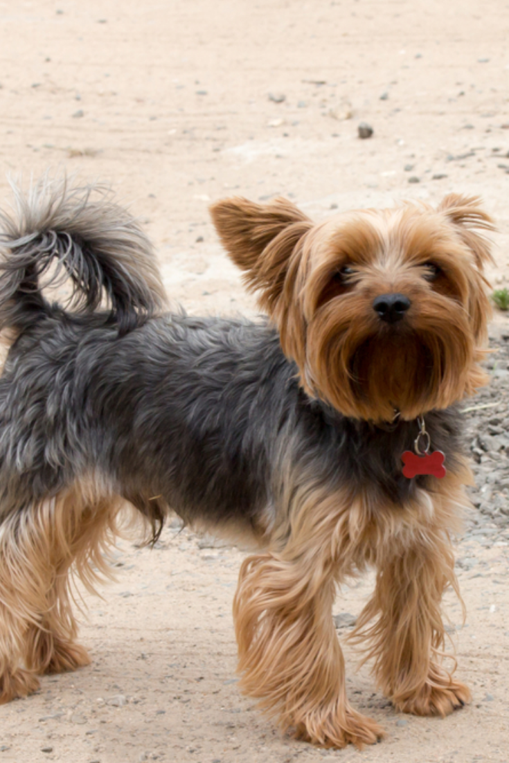Yorkshire Terrier Black Brown Color With A Short Hair Stand On A Dirt Road Close Up Yorkshireterrier Terrier Yorkshire Terrier Yorkie Lovers