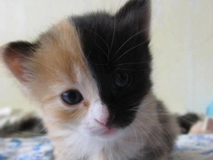 Venus The Chimera Cat Black Hair Media Forum Page 1