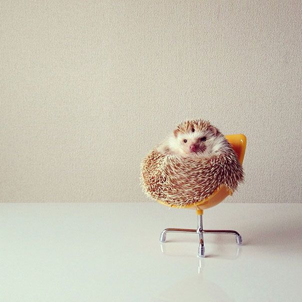 Meet Darcy The Most Famous Flying Hedgehog On Instagram - Darcy cutest hedgehog ever