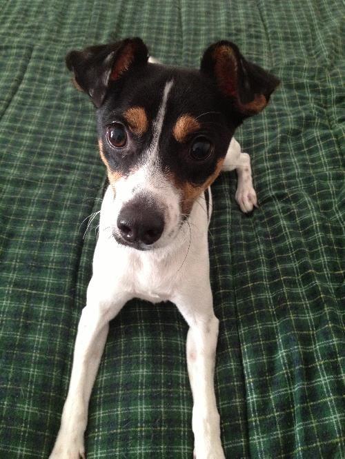 The Rat Terrier Dog Findgreatdogs Rat Terrier Dogs Rat Terriers Terrier