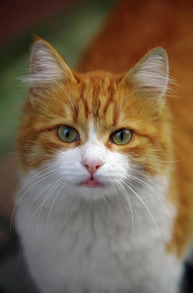 Orange & white cat
