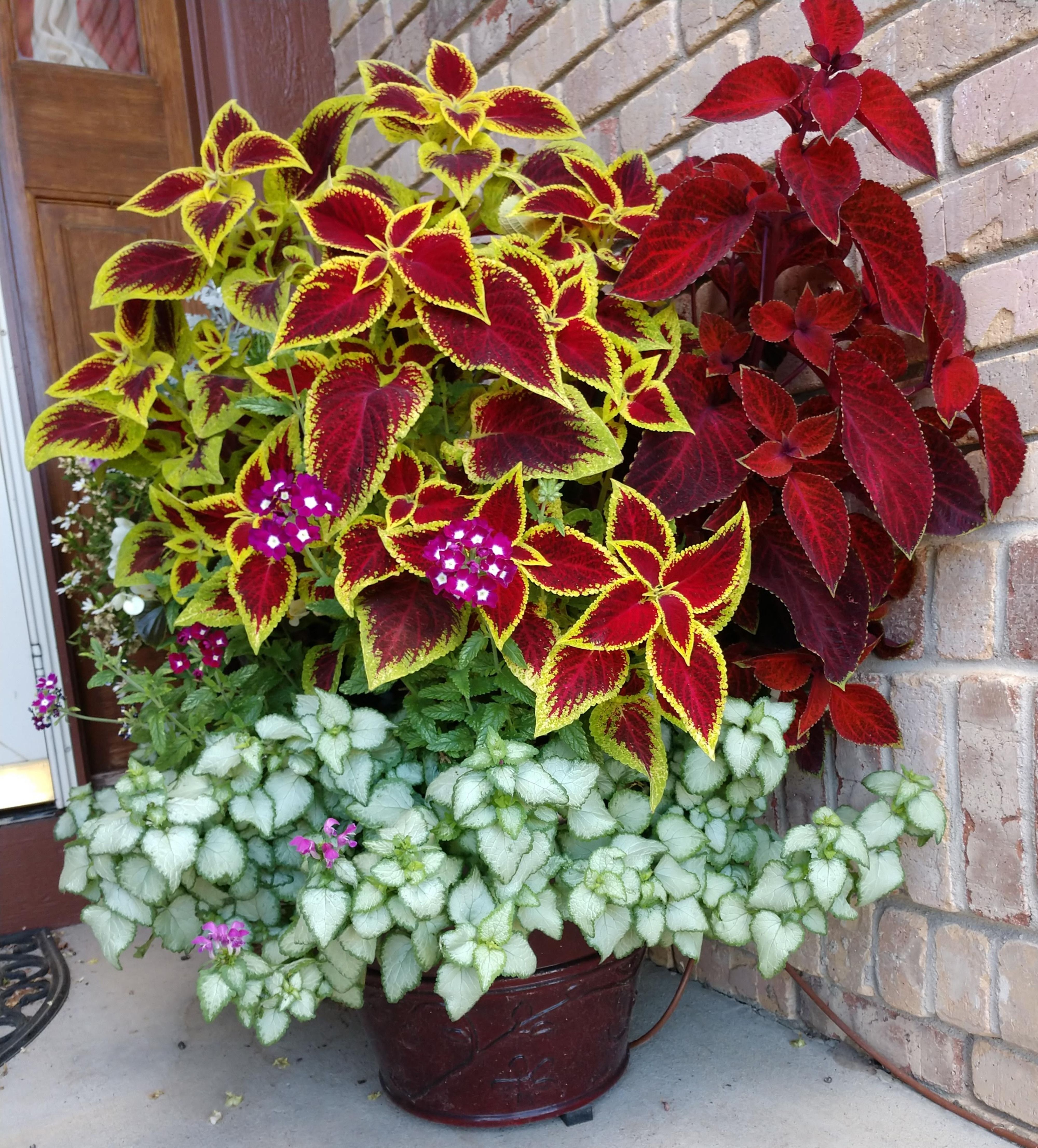 Container Garden Over Exuberant Coleus With A Little Verbena And