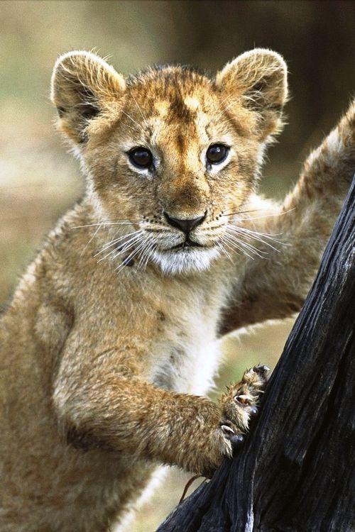 lion kit | Lions | Lion cub, Animal wallpaper, Baby cheetahs