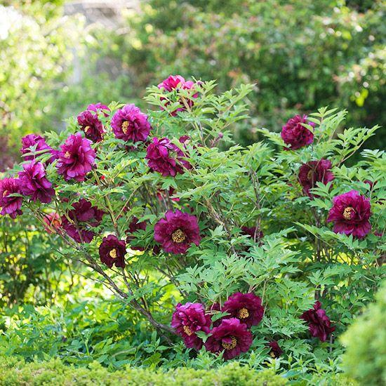 top tree peony varieties gardens tree peony and pirates