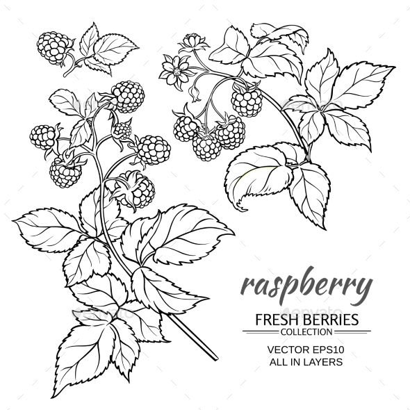 raspberry branch vector set on whte background   Flower ...