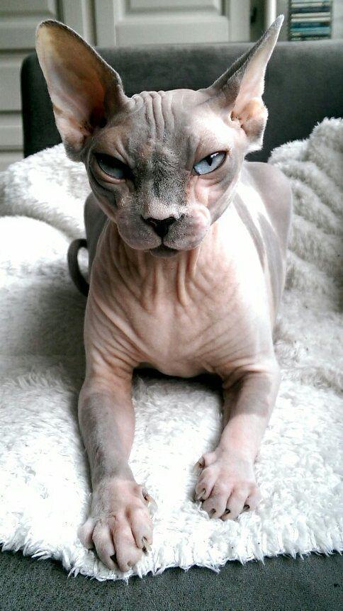 Sphynx Cat  Animaux