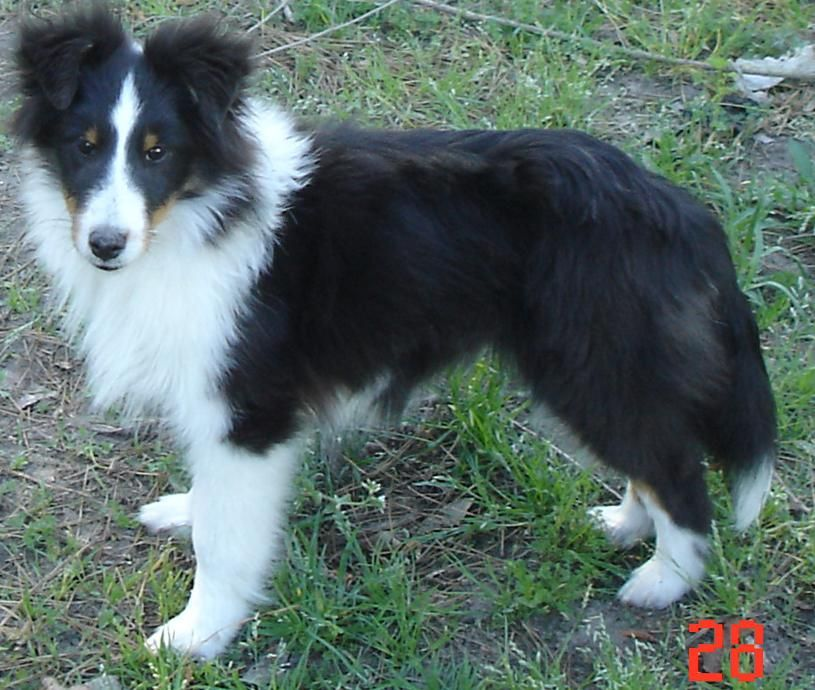 Shetland Sheepdog All Star Shelties Kennel in Texas