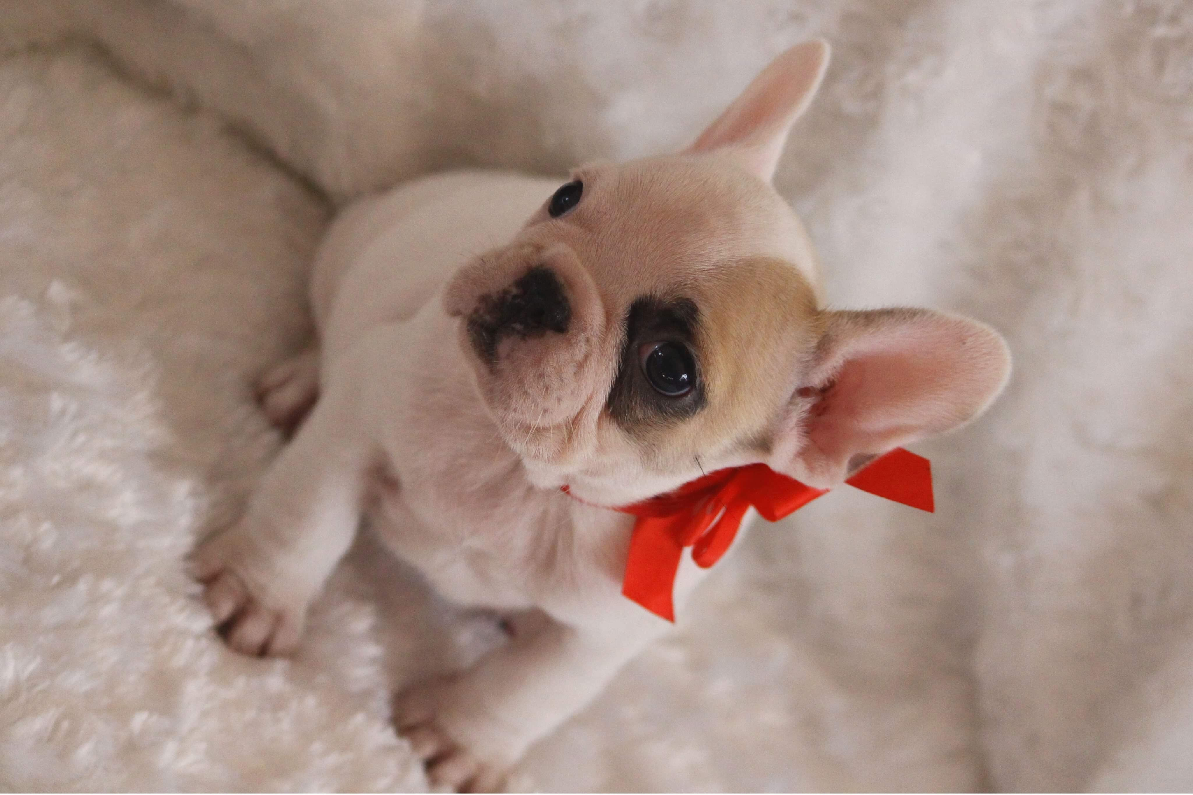 French Bulldog French Bulldog Puppies French Bulldog French