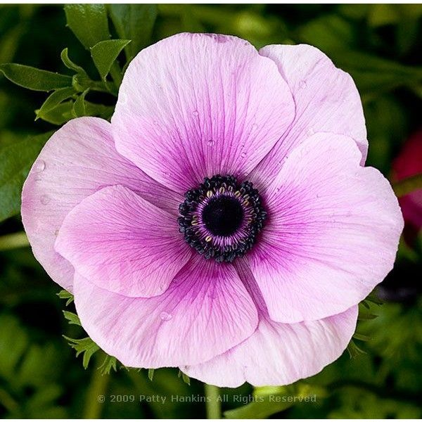 Poppy Anemone Anemone Coronaria Beautiful Flower Pictures Blog Floral Photography By Patty Hanki Beautiful Flowers Pictures Flower Pictures Anemone Flower