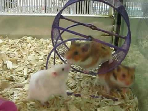 Awww The Cute Soft Hamsters At Petsmart Hamster Long Haired Hamster Petsmart