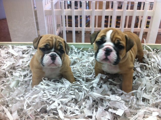 Female English Bulldog Puppies So Cute Puppies Bulldog