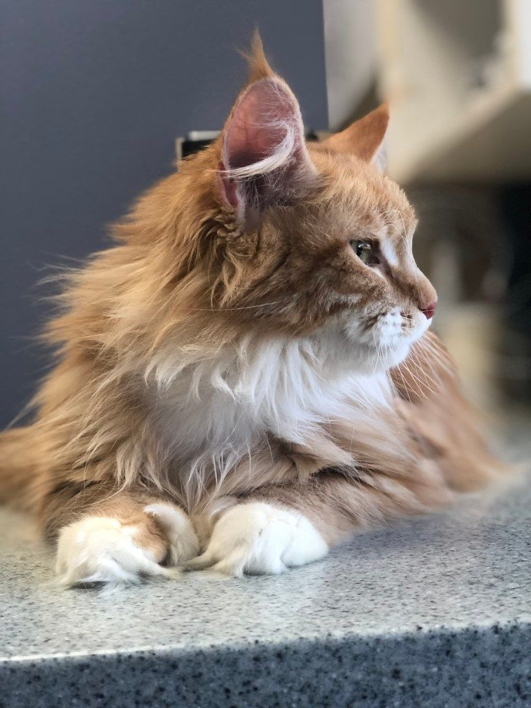 Pin On Oregon S Pride Maine Coon Cats