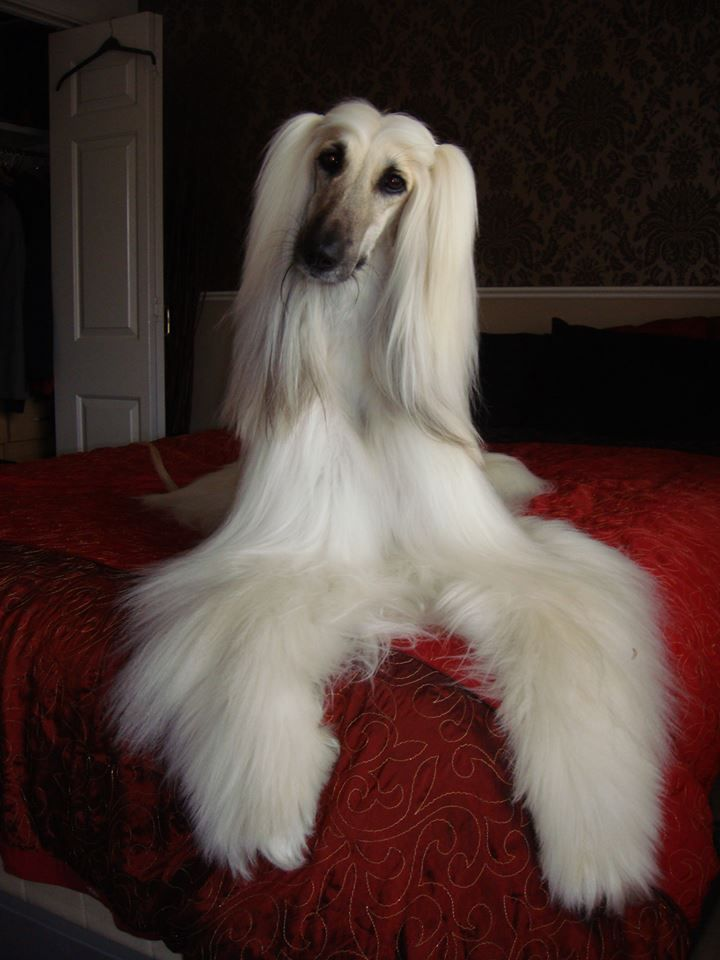 The Glamourous Miss Bo Afghan Hound Hound Breeds Beautiful Dogs