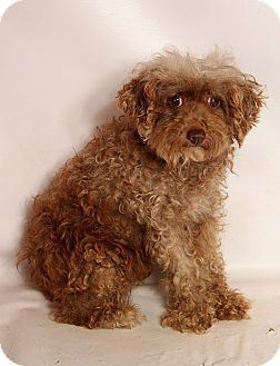 Pictures Of Samantha Poodle A Poodle Miniature For Adoption In
