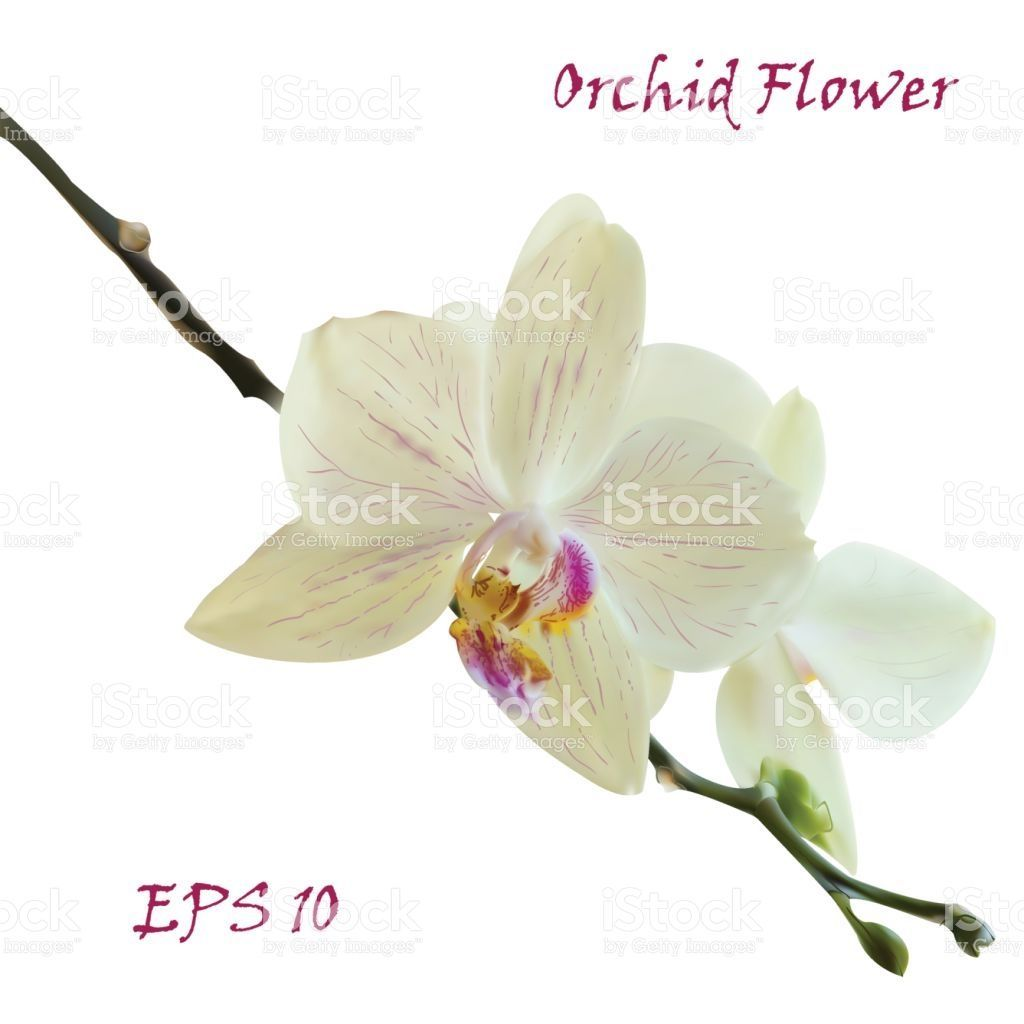 White Isolated Orchid Flower Photo Realistic Botanical Vector Orchid Flower Orchids Free Vector Art