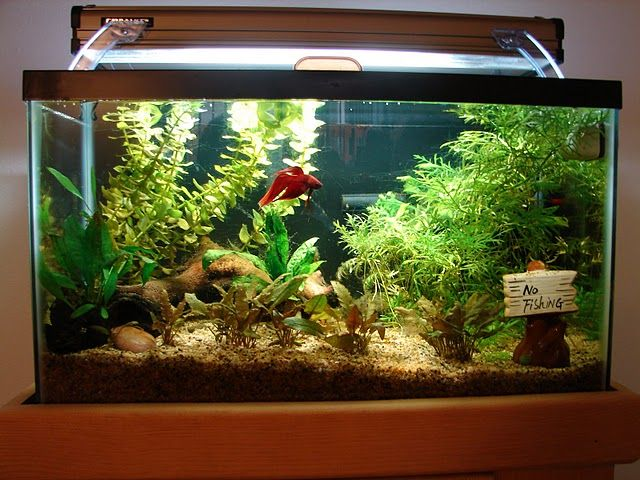 A betta in his kingdom clean water warm live plants for Live fish tank