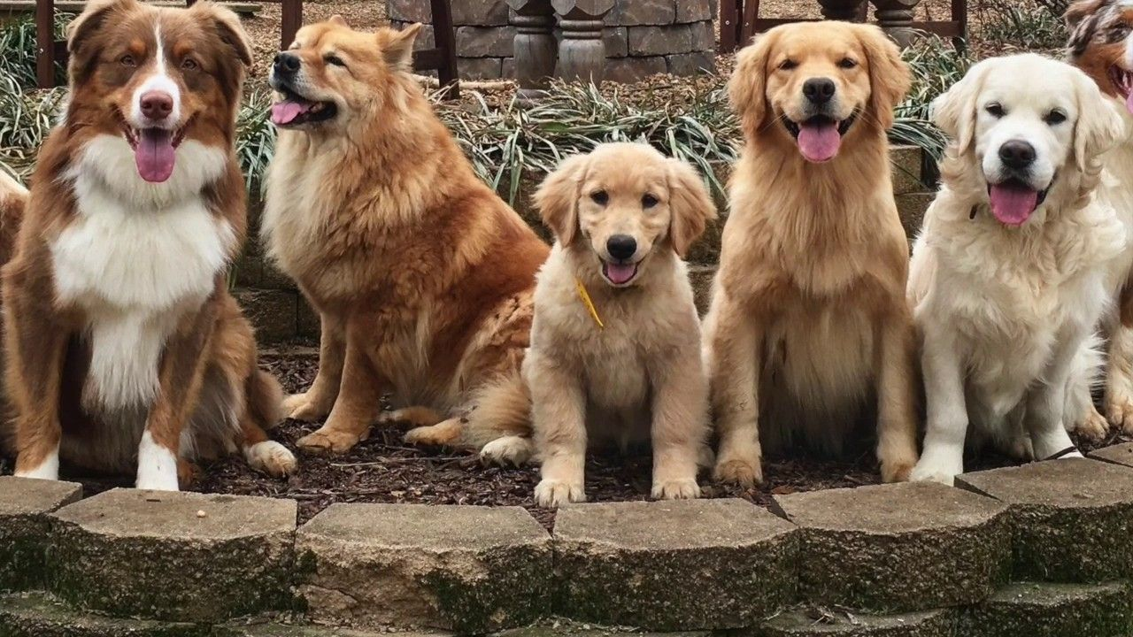 Keendog Golden Retriever Puppy Training What To Expect