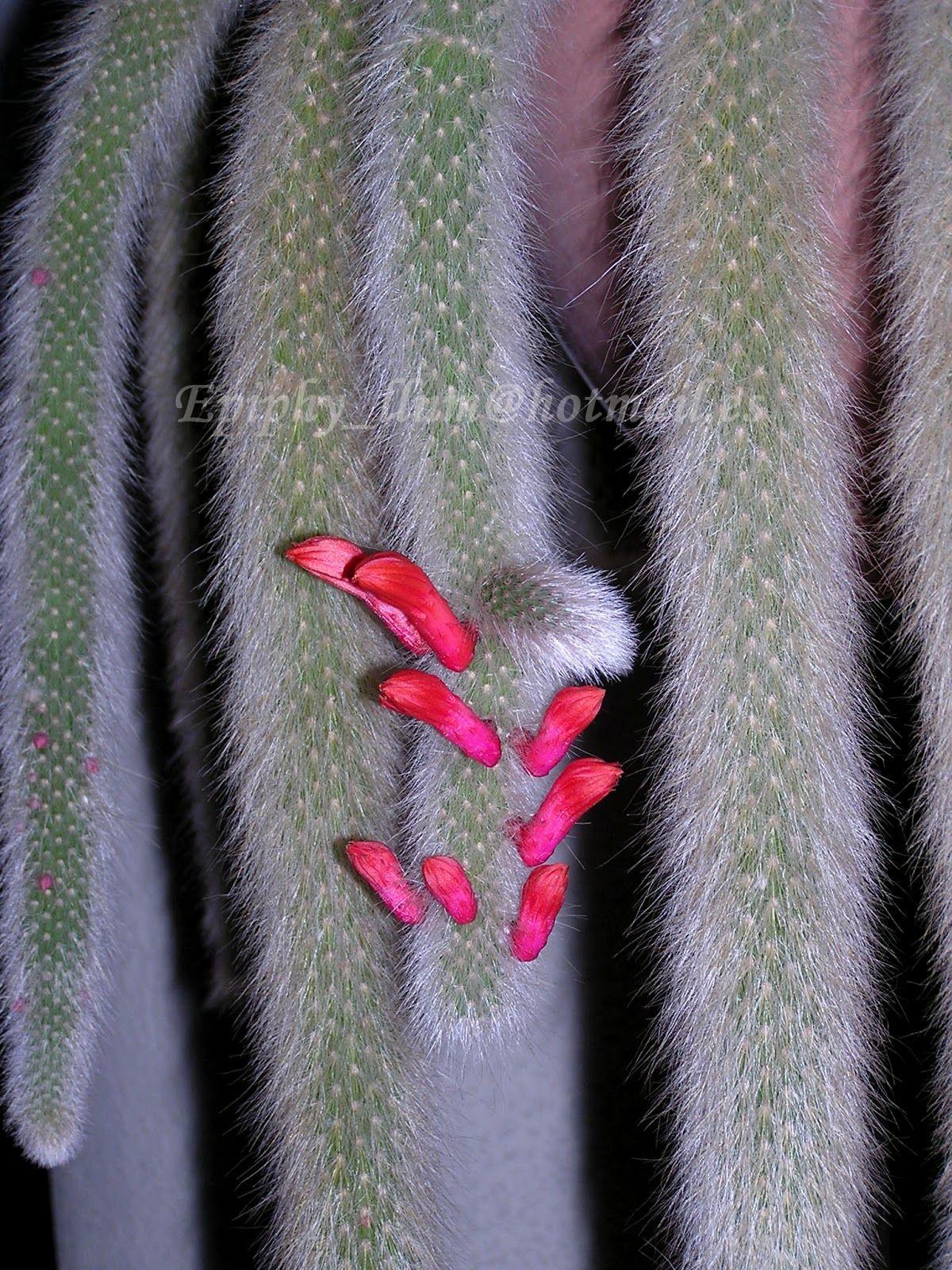 Epis Llum: Cleistocactus Winteri subs. Colademononis