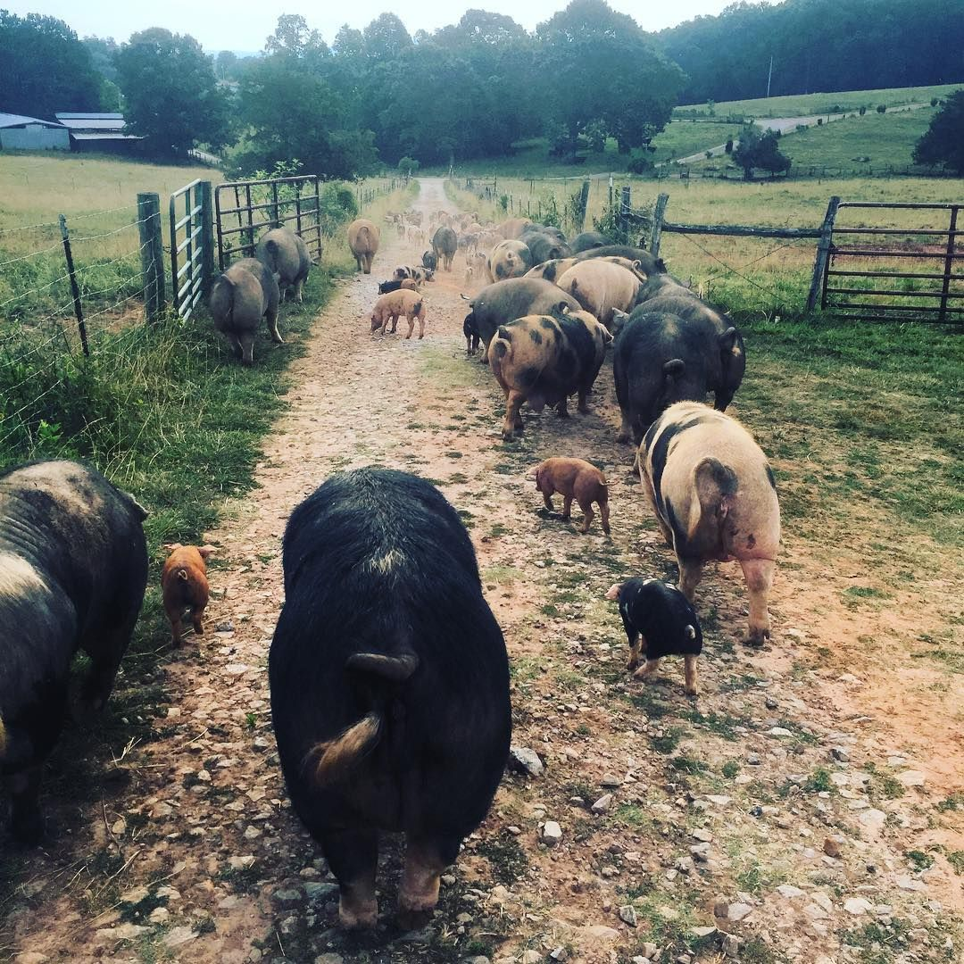 Moving mama pigs and baby pigs this morning  // Greenbrier