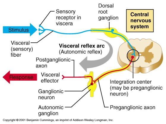 neuron+anatomy   dual innervation - The term used to describe the fact that ...