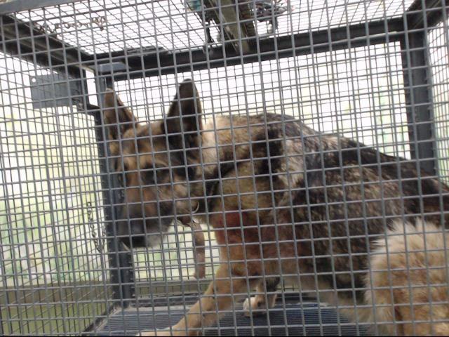 Www Petharbor Com Pet Sbco1 A715408 German Shepherd Dogs German