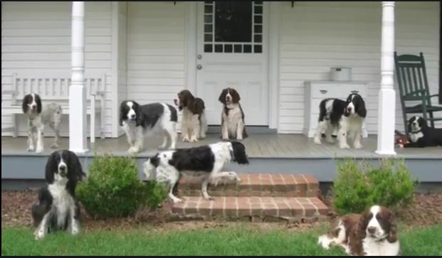 Pin By Susiemac On Springers Springer Spaniel English Springer Spaniel Spaniel