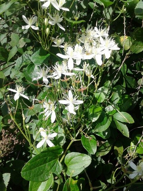 White Honeysuckle at Hope Springs Institute. These smell heavenly! Photo by Trish Breedlove