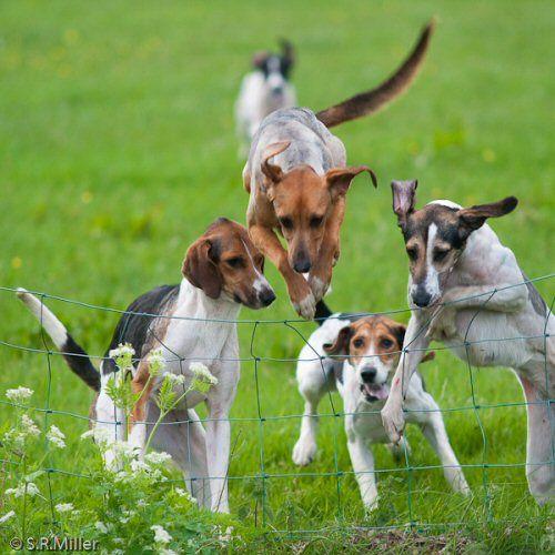 Lakeland Trailhound Welfare Uncategorized Hound Dog Equine Inspiration The Fox And The Hound