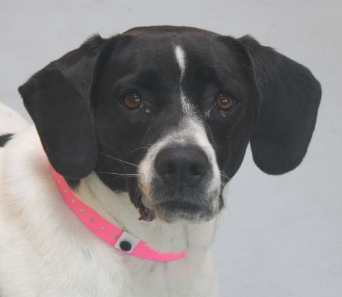 Daisy Id A668888 My Name Is Daisy I Am A Femal Dog Sounds German Shorthaired Pointer Pets