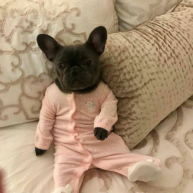 Let S Take A Nap Follow Mycutestfrenchie For More Tag Your Friends By Izzythe Frenchie Ta Funny Dog Clothes Cute Baby Animals Bulldog Puppies