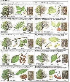 Baumbestimmung B 228 Ume Wachsenden Pflanzen Laubbaum Und