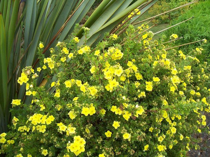 potentilla bush Primrose bush Potentilla or Tundra Rose