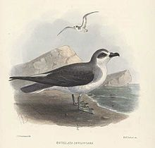 De Filippi's Petrel Pterodroma defilippiana - Google Search