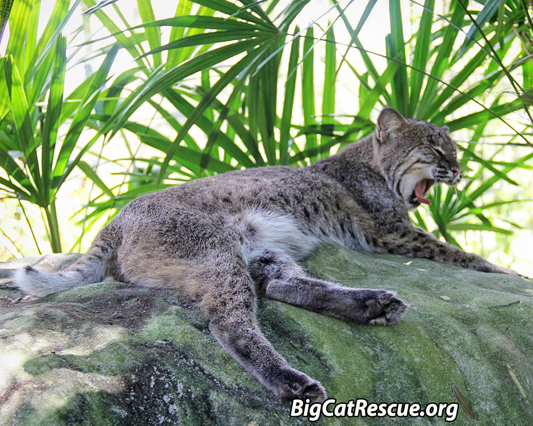 Yawn Anasazi Bobcat Enjoys A Mid Morning Nap In The Shade On Top Of Her And Wills Big Comfy Den Photo By Keeper Brittany Mira